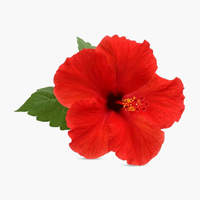 Hibiscus-Flower-Extract | Supersmelly bhringraj hair oil | Super smelly hair oil for men | super smelly hair oil for women | bhringraj hair oil